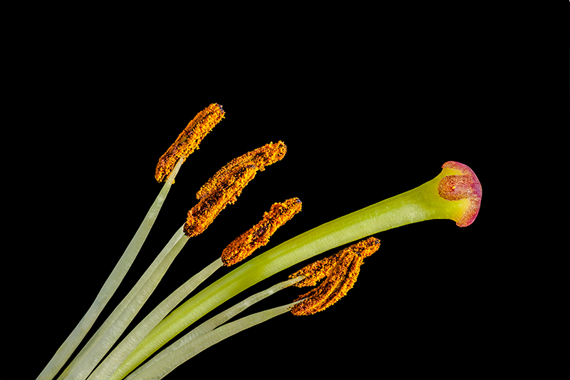 macro focus stacked Lily stamen