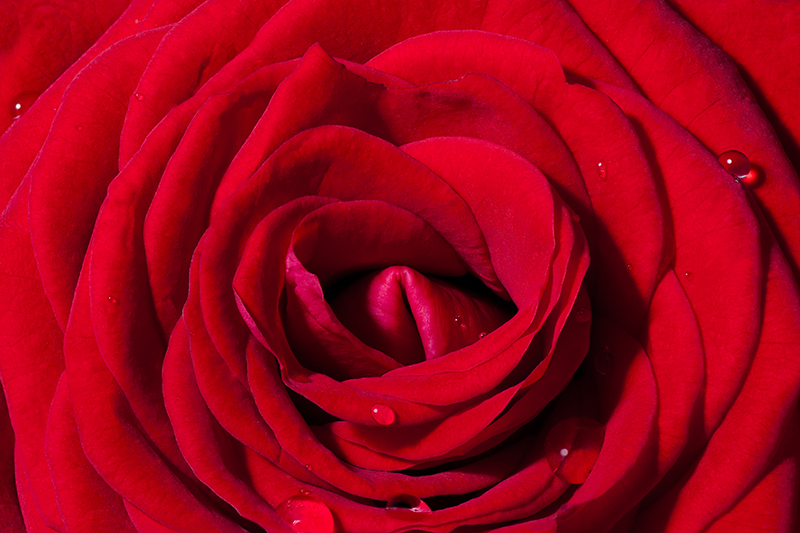 red rose close up macro photograph