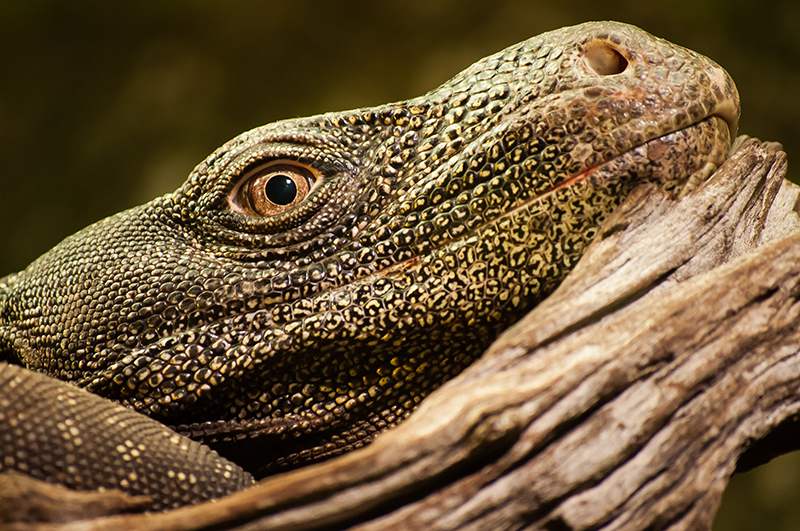 monitor lizard portrait at chester zoo