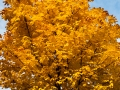 A golden leaf Tree in autumn