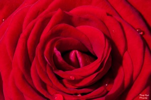 Red rose, petals, macro, focus, focus stacked photography, focus stacked image, nature, imperfection, Nikon, tamron, studio, red, velvet texture, fine art, water droplet flower, macro droplet flower, macro droplet rose, macro droplet petal, macro home studio